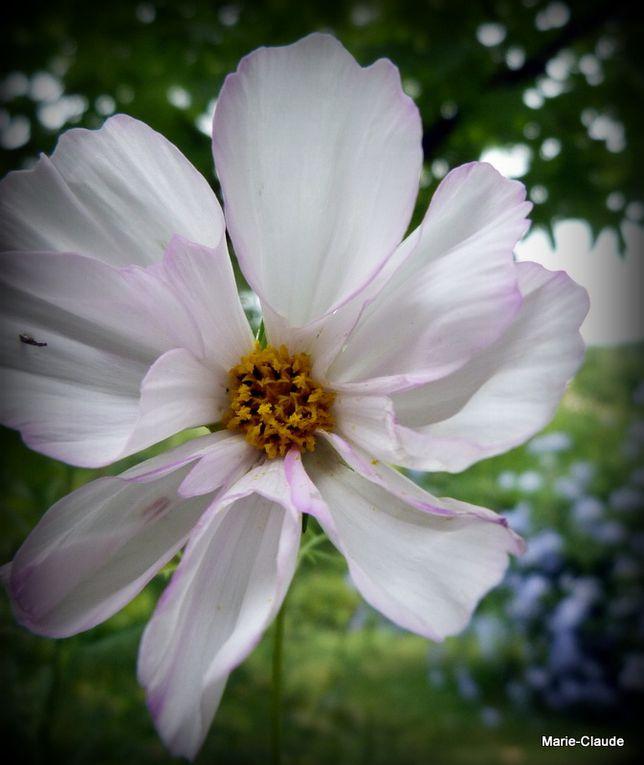 Des Cosmos de toutes les couleurs qui fleurissent encore, leur seul défaut , chez nous, étant de s'avachir sur le sol, des graines envoyées par Valou, Danièle,
