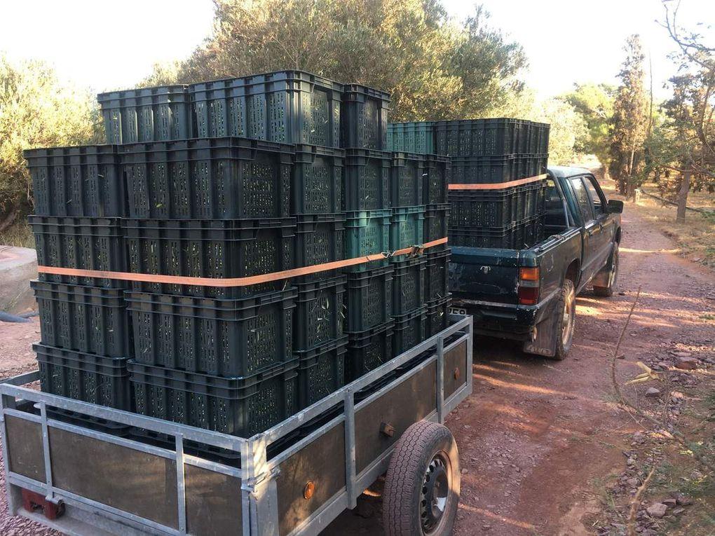 Récolte des olives 2019