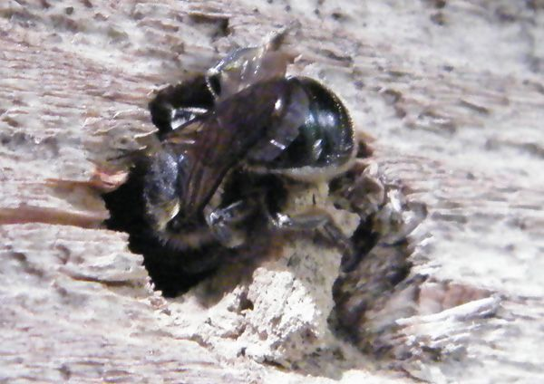 27.06 Osmia caerulescens en plein travail. Le nid était déjà en cours d'élaboration quand j'ai commencé l'observation.