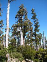 Les plus vieux et plus grands arbres de la planète se meurent