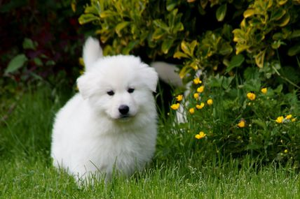 Nos chiots berger blanc suisse issu de Isy et Lord