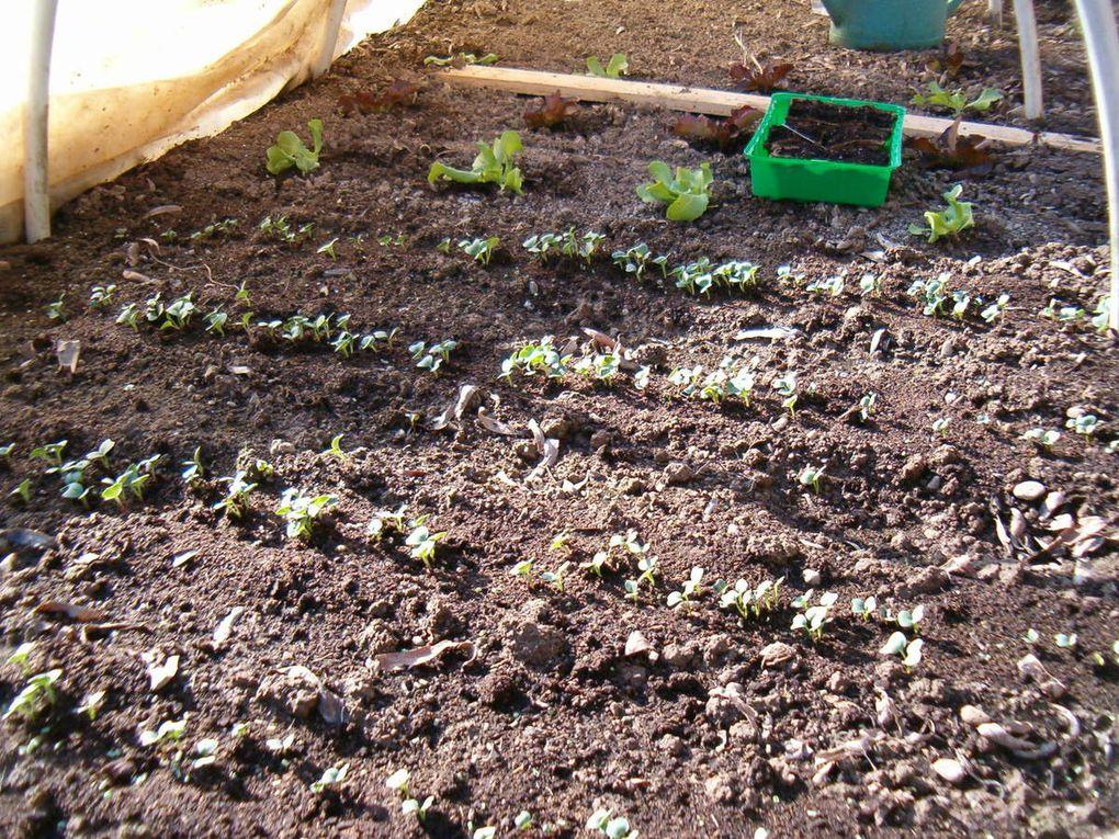 Le tunnel accueille non seulement les radis, la salade mais aussi le semis de lupin