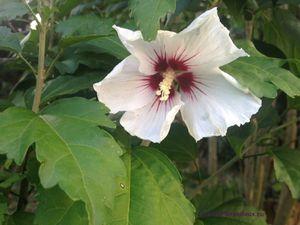 Secteur ouest du Jardin de Frescati : Arctotis venusta et Hibiscus syriacus 'Red heart'