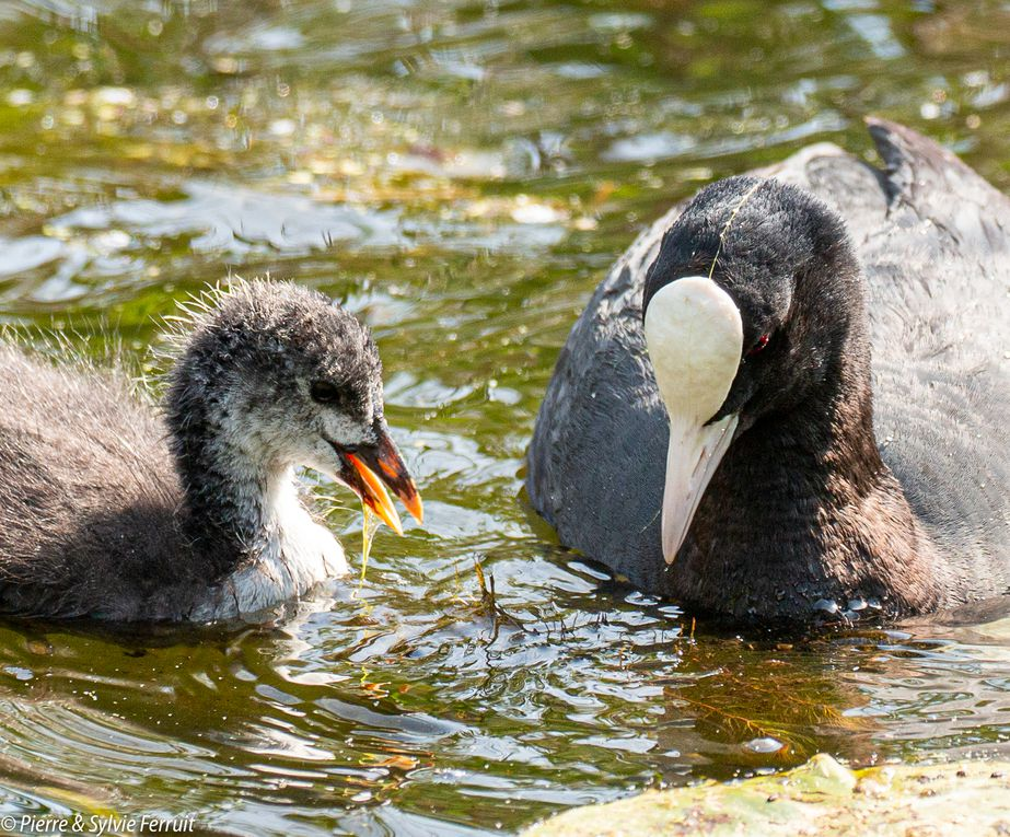 Les petits monstres sont devenus charmants poussins... Et bientôt des adultes très territoriaux...  [Foulque macroule] / The little monsters have grown up into nice little chicks. And they will soon turn into very territorial adults... [Common coot] / Fulica atra