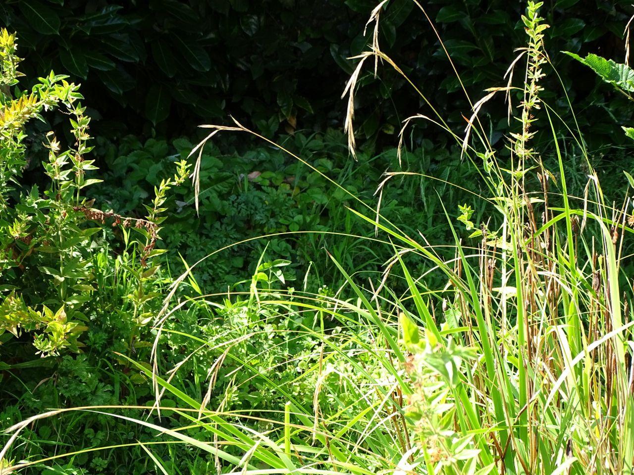 Brachypodium sylvaticum, Brachypode des bois