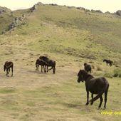 Pottok , Pays Basque ( Pyrénées-Atlantique 64 ) AAA - ONVQF.over-blog.com