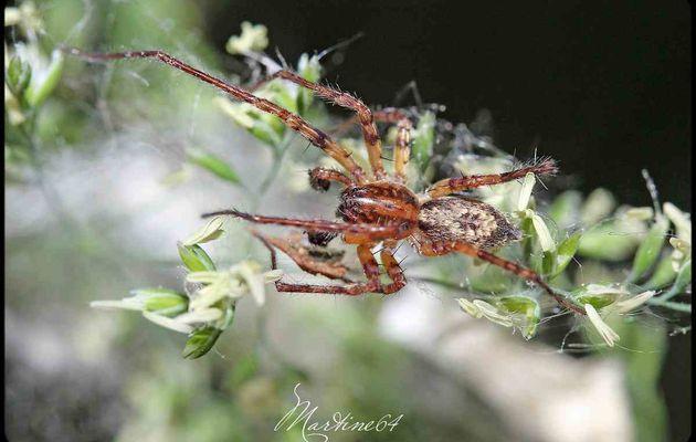 Araignée : Anyphaena accentuata