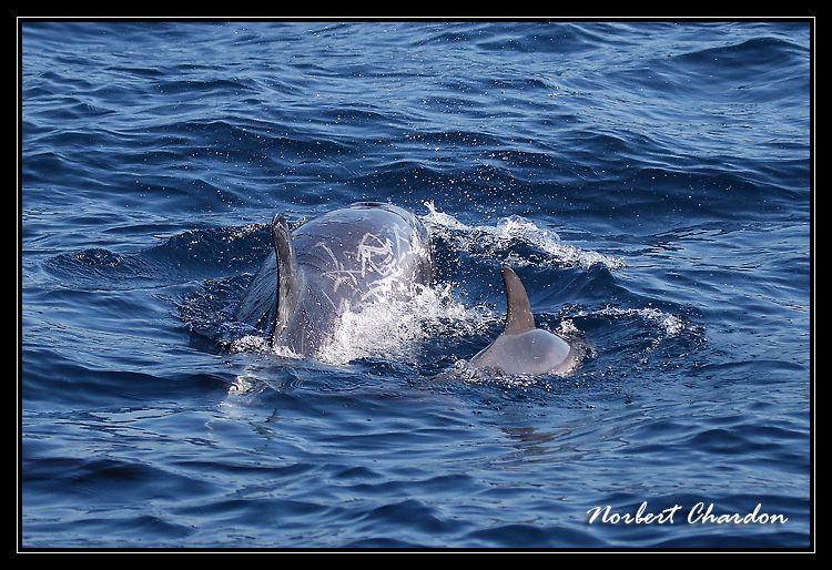 Cachalot, dauphins de Risso et puffin de Scopoli au large de sanary
