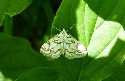 L'Hydrocampe du Nénuphar, Nymphula nitidulata