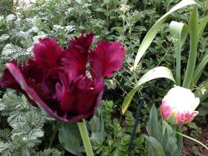 Tulipe 'Black Parrot'