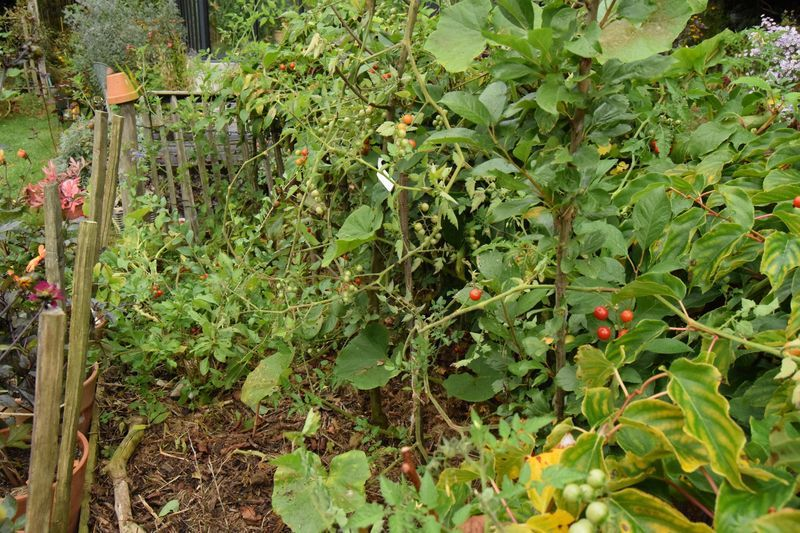 Les tomates Matt's wild cherry en situation.