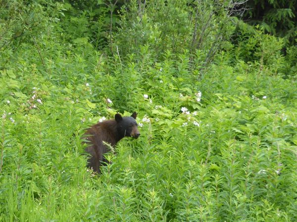 Ours noirs et Grizzlys
