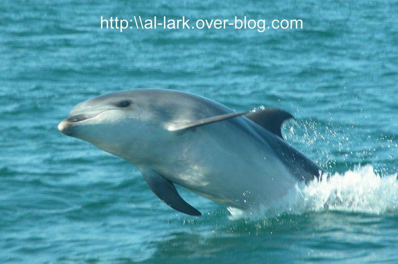 Au fil des sorties de l'association Al Lark, de nombreuses rencontres avec les mammifères marins, nous ont offert la chance de vous rapporter ces quelques photos... Je vous lais