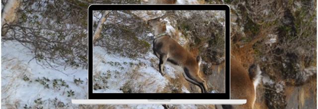 L'hiver chez les bouquetins dans le Parc naturel régional des Pyrénées Ariégeoises