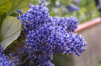 336 - Ceanothus arboreus Trewithen blue - une merveille bleue