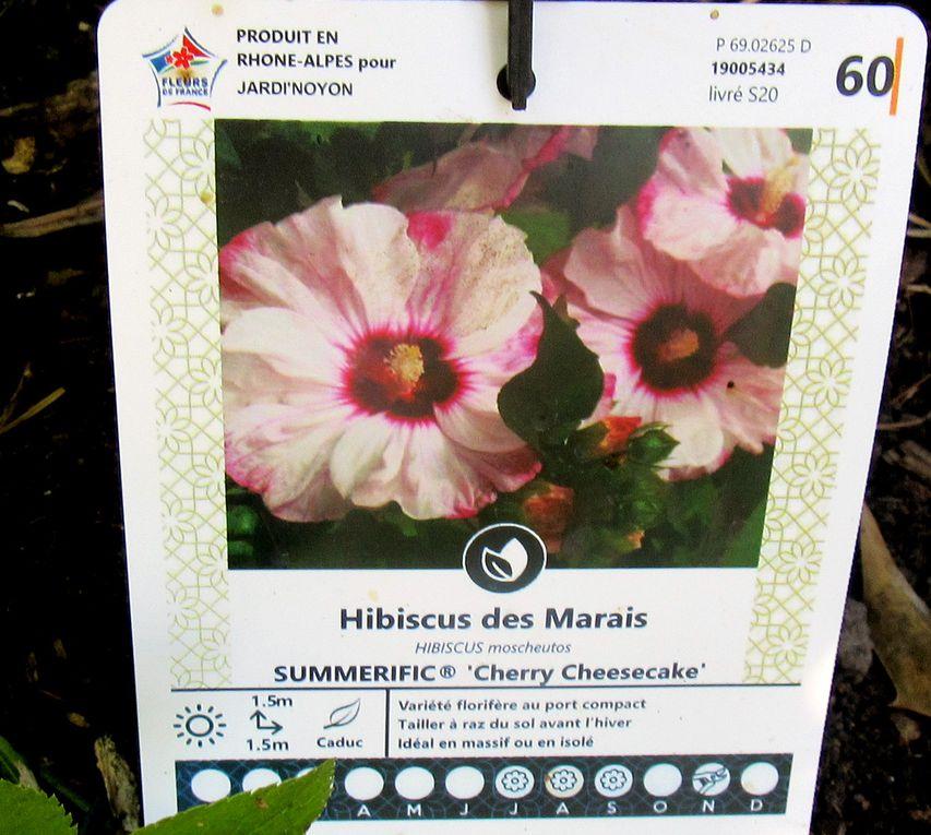 L'hibiscus des marais acheté assez cher qui n'a fait qu'une fleur fugitive !!!