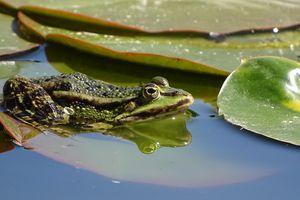 Journal du couvre-feu/J 95 ''Lâchez les cuisses des grenouilles''