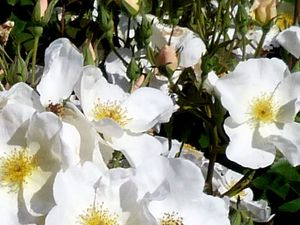 Dans un style tout différent, le rosier 'Kew Gardens', un rosier qui m'a bien intéressée, il fleurit toute la saison , un rosier très sain, presque sans épines de 1,25m de haut, il produit des petits cynorhodons rouges que vous devrez enlever si vous désirez qu'il continue à fleurir, une espèce hybridée en 2009,