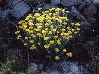 Menthe sylvestre, Mauve à petites fleurs, Immortelle, Grande prêle, Aliboufier, Origan des jardins