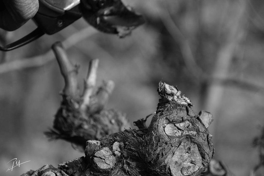 Travaux d'hiver à la vigne, la saison où l'esprit vagabonde.