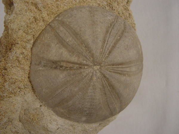 """<p></p> <p>Les oursins fossiles ! Probablement mes petites bestioles préférées ! </p> <p>Cela ne trompe pas, de nombreux amateurs sont spécialisés en échinides fossiles, et les sites qui les fournissent fréquemment visités.</p> <p>Leur esthétique est également une source d'intérêt pour de nombreux curieux.</p> <p>Toutes ces pièces font partie de ma collection personnelle.</p> <p>Bonne visite !</p> <p>Phil """"Fossil""""</p> <p></p>"""