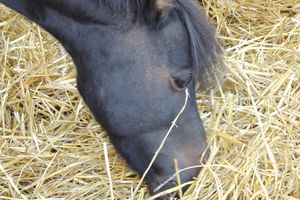 Pourquoi le fourrage est-il un facteur de prévention des ulcères gastriques chez le cheval ?