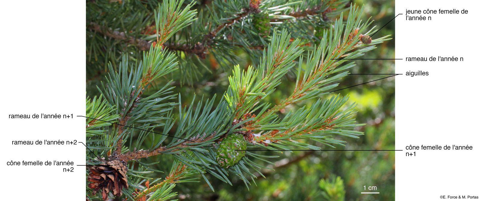 Figure 1. Les cônes femelles sur une branche de Pin sylvestre (crédit photo : E. Force & M. Portas).
