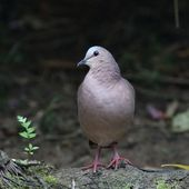 Colombe à front gris - Leptotila rufaxilla - Grey-fronted Dove