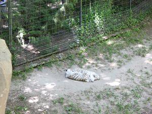 Zoo de Beauval : les fauves