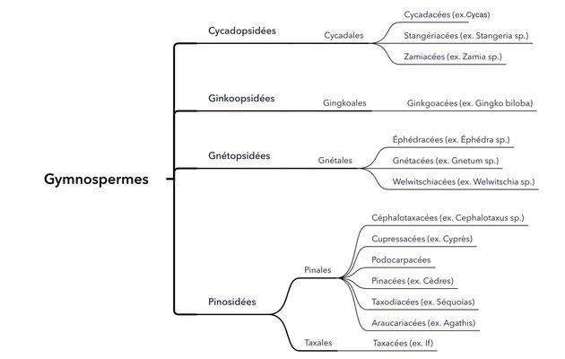 La classification des Gymnospermes