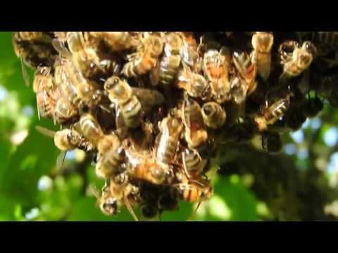 essaim et miel
