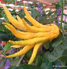La plante surprise du jour : le cédratier ou main de bouddha...