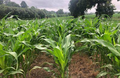 Un petit retour en photo de la croissance du maïs semé en direct il y a quelques semaines. 🌽