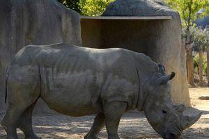 Vince, rhinocéros, Satao II, éléphant: l'Humanité ou l'extinction des autres