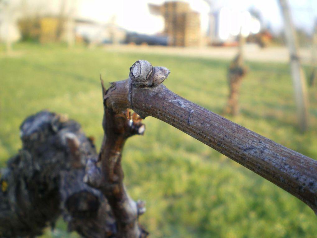 Le cycle de la vigne