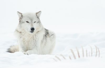 Loup - Hiver - Neige -  Photographie - Wallpaper - Free
