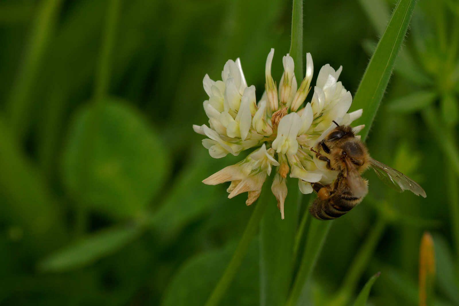 Trifolium medium et Trifolium pratense