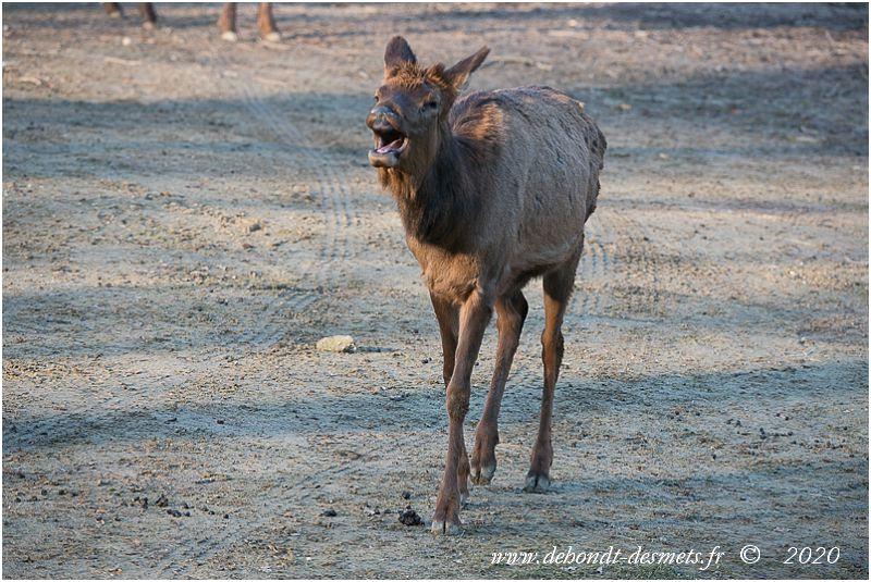 Le wapiti est le plus volubile de tous les cervidés. Il garde le contact avec les autres membres du groupe grâce à des vocalisations variées telles que sifflements, mugissements, miaulements, jappements ou toussotements, et avec des postures.