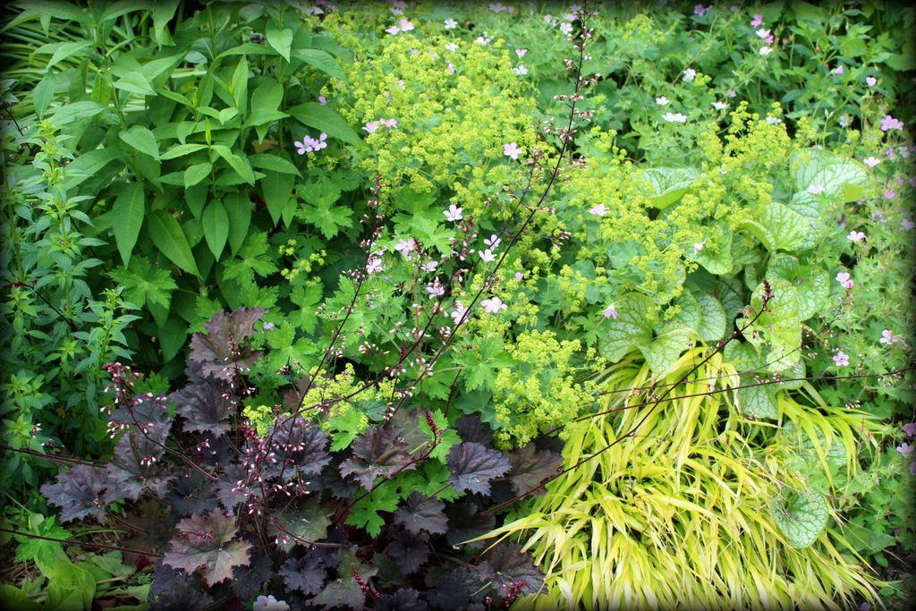 Couleur pourpre et  vert chartreux : Heuchera purple, Hakonechloa macra et Alchemilla mollis