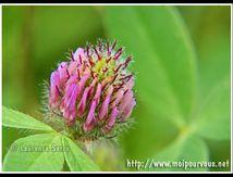 La fleur de trèfle ...