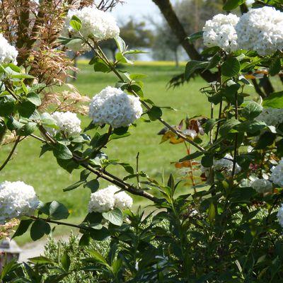 Viorne de Carles - Viburnum carlesii aurora