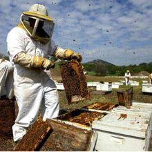 L'« étalon-or » de l'évaluation des néonicotinoïdes : les études sur des ruches montrent que les pesticides ne sont pas une source majeure de problèmes de santé