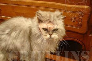 """Chats/ insuffisance rénale : le """"sémintra"""" : médicament qui préserve au mieux les fonctions rénales + l'Azodyl """"contribue à évacuer les toxines """"qui empoisonnent le sang du chat, du chien aux reins déficients (que les vétérinaires en France connaissent mais qui leur est interdit de vendre, donc de prescrire!!!)"""