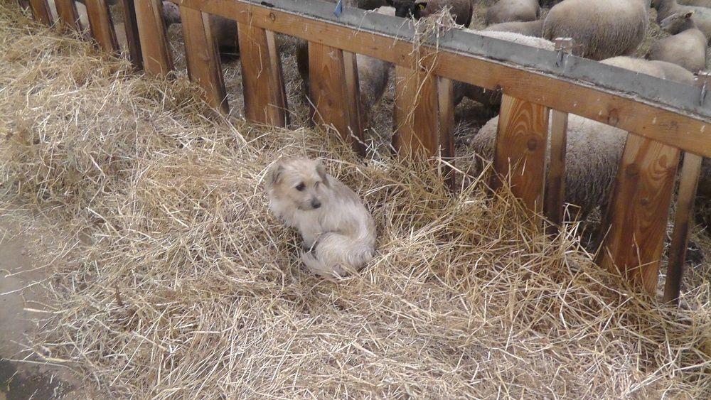 les brebis croisées , stockage de foin , deux des chiens de service ..et des bergers bergères