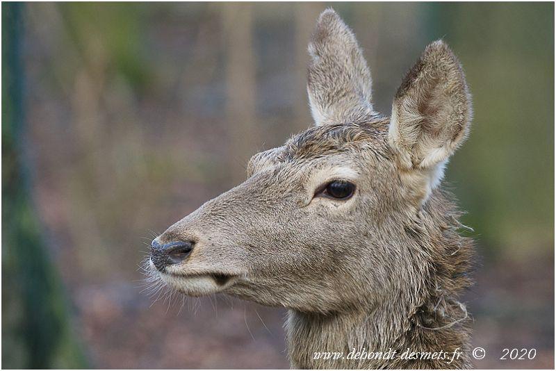Cerfs et biches possèdent de grandes oreilles ovales et mobiles séparément pour mieux percevoir les dangers.  La biche  a une tête proportionnellement plus étroite et allongée que le cerf.