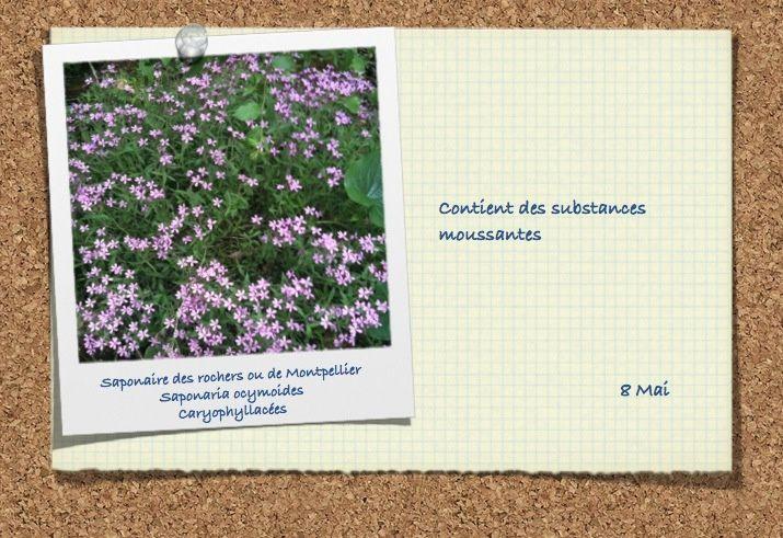Caryophyllacées (4 photos)