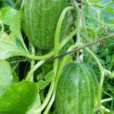 Melonengurken