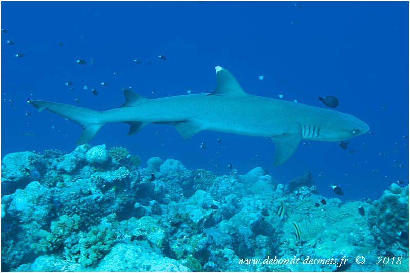 Requin corail (Triaenodon obesus)