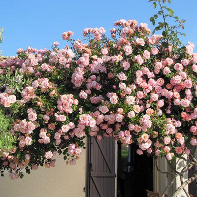 le rosier de Casimir