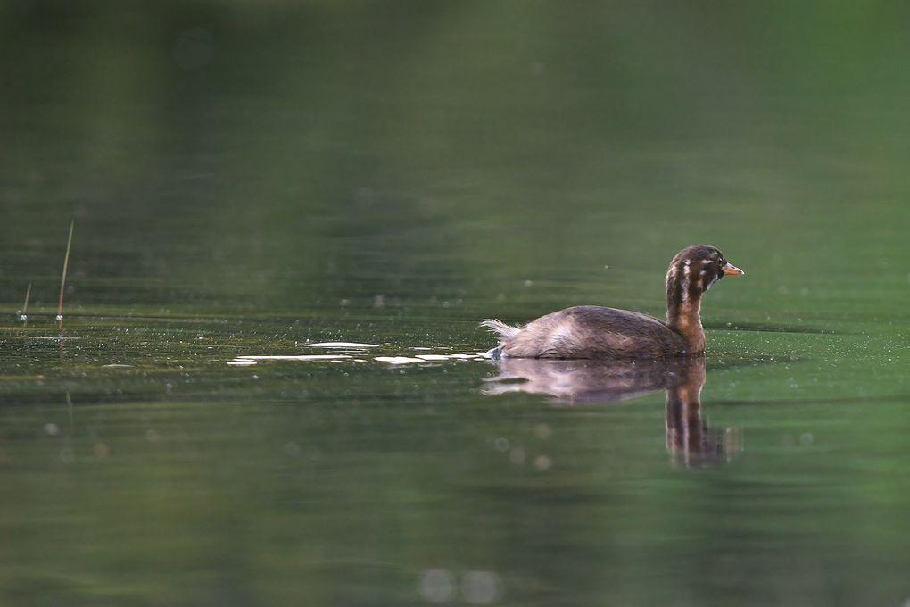 Le grèbe castagneux aime bien les eaux dormantes, aussi n'est-il pas rare de le trouver sur les petits étangs, les mares et même les fossés inondés. De tous les grèbes, il est en effet celui qui peut nicher sur les pièces d'eau dont la surface est la plus réduite. Et ceci, non pas en raison de sa petite taille mais de son régime alimentaire moins piscivore que les autres espèces de grèbes.